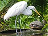 An egret sharing a log and some rays with a turtle