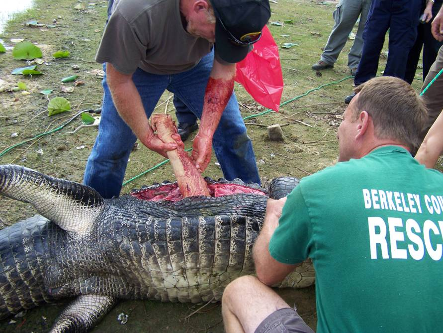 Arm Removed from Gator