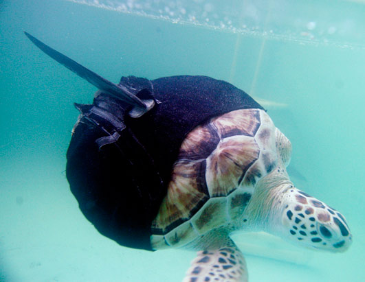 One Flipper Turtle