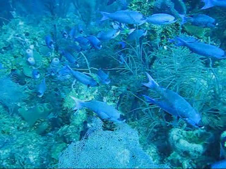 A school of blue fish swimming by in Belize before I got in their way
