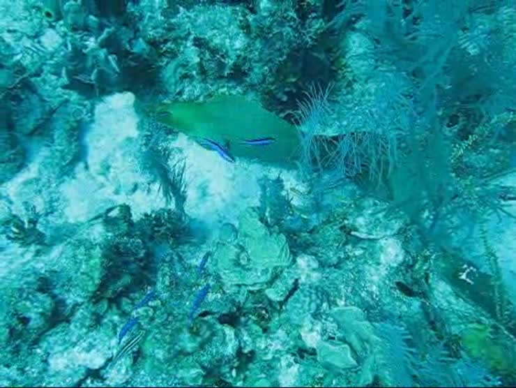 A mooray eel trying to hide in Belize