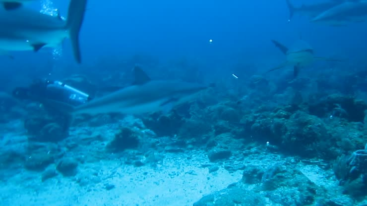 <strong>No cages</strong><br>Sharks patroling around the chum bucket on our shark dive
