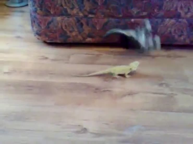 A kitten gets scrared when playing with bearded dragons
